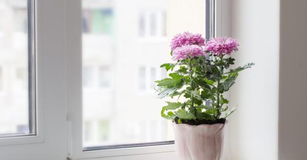 Gartenblumen für pralle Sonne hellviolette Chrysanthemen im Topf am Fenster perfekt aussehen