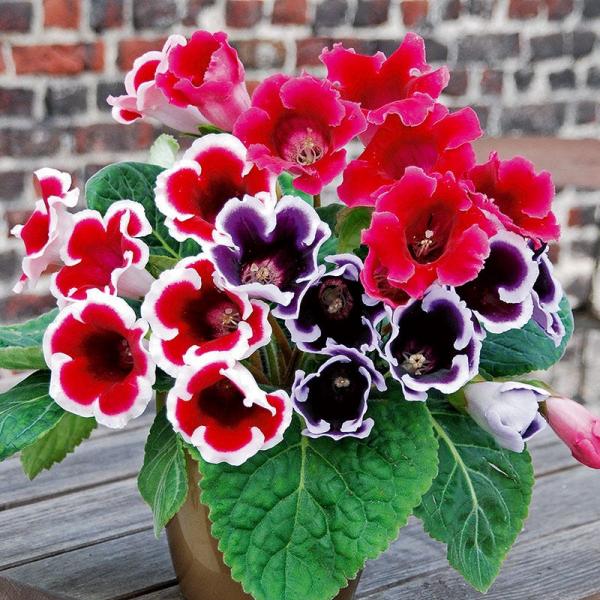 Gloxinie Blütenpracht im Hochsommer drei verschieden gefärbte Gloxinien ein Balsam für Augen und Seele