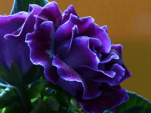 Gloxinie blauviolette Blüten erinnern an Rosenblüten schöner Anblick