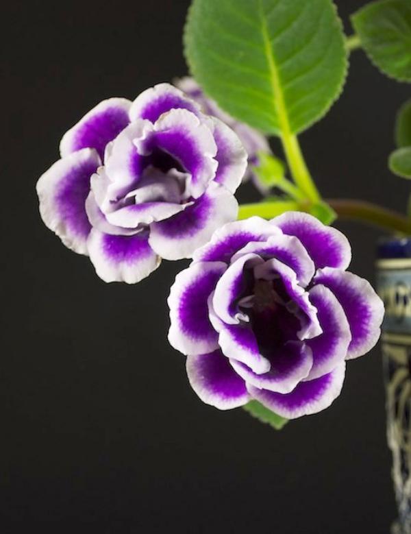 Gloxinie blauviolette Blüten mit weißem Rand herrlicher Anblick
