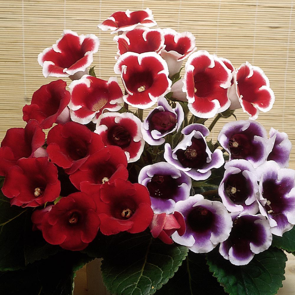 Gloxinie rote und violette Farben mit einem weißen Rand richtiger Blickfang