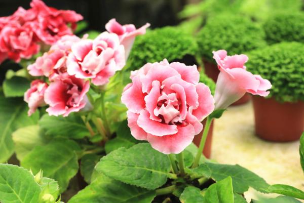 Gloxinie schöne rosa Blüten richtige Pflege regelmäßig gießen in Maßen düngen