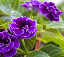 Gloxinie – einmalige Blütenpracht in unterschiedlichen Farben und Formen