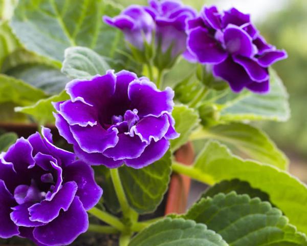 Gloxinie verschiedene Arten existieren exotische Blüten in Blauviolett unwiderstehlich schön
