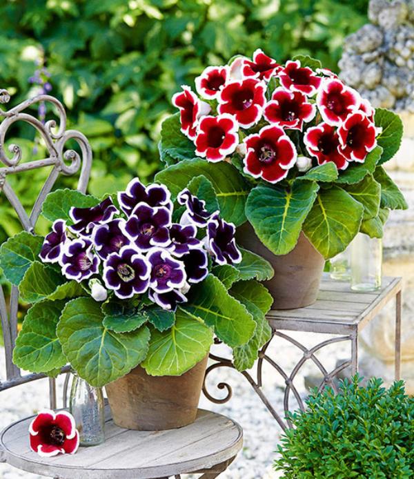Gloxinie zwei in zwei Töpfen draußen richtiger Schmuck Blickfang rot und violett gefärbt