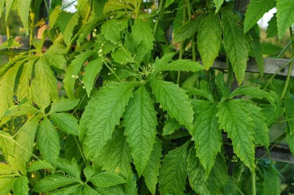 nutzpflanze inkagurke