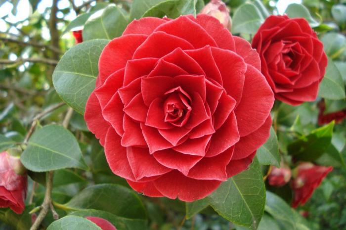 seltensten Blumen der Welt Middlemist Red Rose herrliche Blüten in gesättigter hellrosa Farbe feine Blütenform