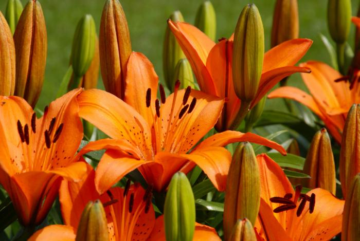 seltensten Blumen der Welt die Feuerlilie Nationalblume in Zimbabwe orangenfarbene Blütenblätter toller Blickfang