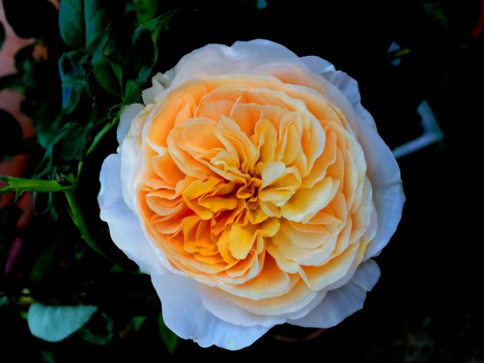 seltensten Blumen der Welt die Juliet Rose einmalige Schönheit