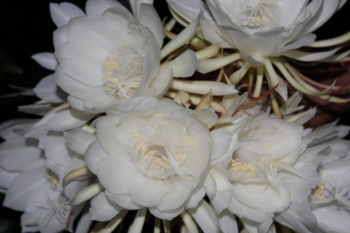 seltensten Blumen der Welt die Kadupul-Blume Kaktusblüte feine weiße Blütenblätter blüht nur nachts