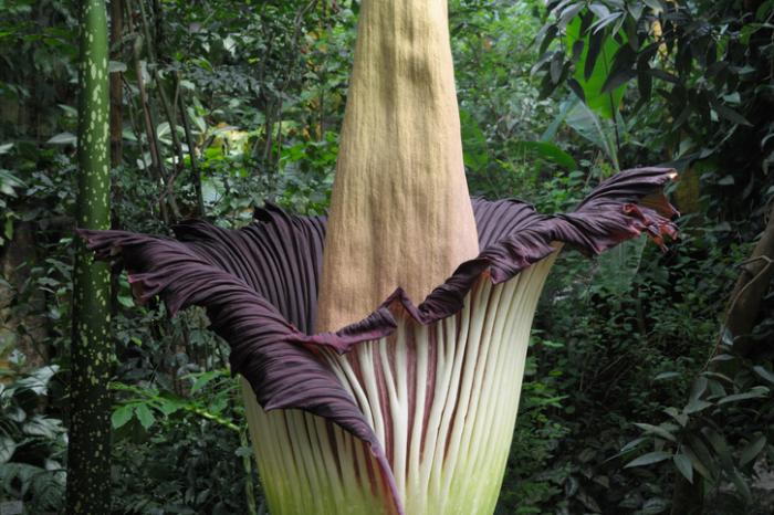seltensten Blumen der Welt die Titanenwurz auffallende hohe Blüte ein einziges Blütenblatt außen grün innen burgunderrot