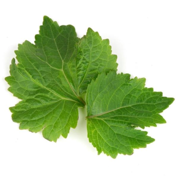 ätherisches Patchouli Öl Vorteile Blätter Verwendung