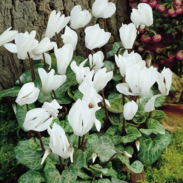 Alpenveilchen Herbstpflanzen winterharte Pflanzen
