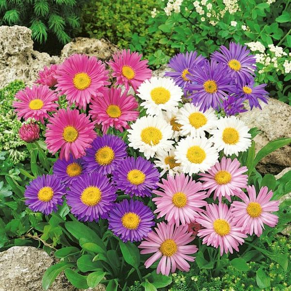 winterharte Aster Blumen Gartenpflanzen im Herbst
