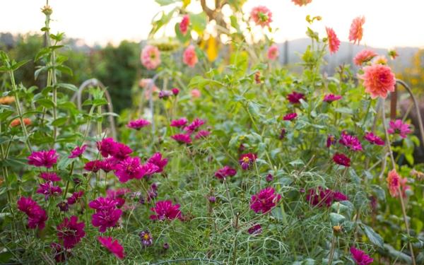 Dahlia Aster blühende Herbstpflanzen winterharte Gartenpflanzen