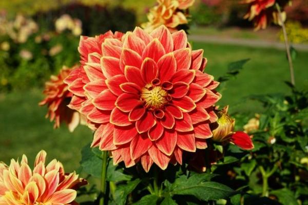 Dahlia Blumen blühende Herbstpflanzen winterharte Gartenpflanzen