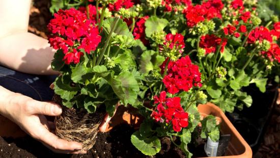 Geranien überwintern Wurzelballen nehmen zusätzliche Erde entfernen Blüten und Blätter zurückschneiden