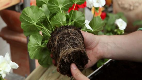 Geranien überwintern beliebte Topfpflanzen auf die Überwinterung vorbereiten