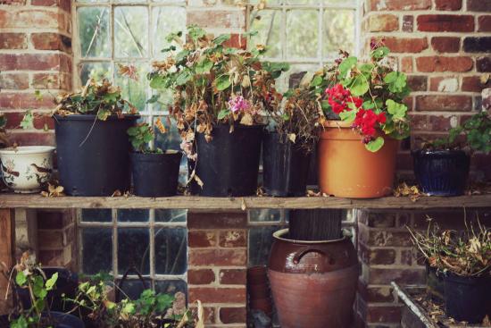 Geranien überwintern beliebte Topfpflanzen bei schlechter Pflege verwelken eingehen