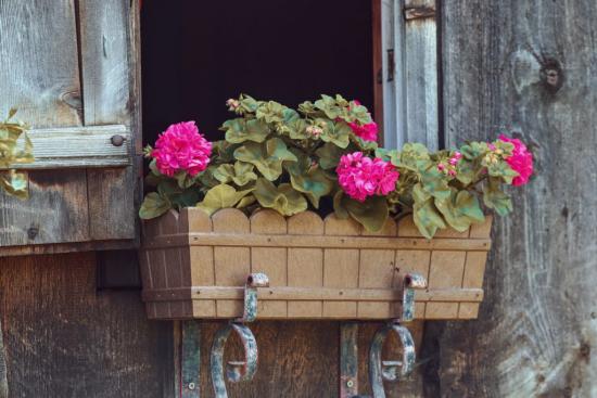 Geranien überwintern beliebte Topfpflanzen bringen ein rustikales Flair Erinnerungen an die Kindheit auf dem Lande