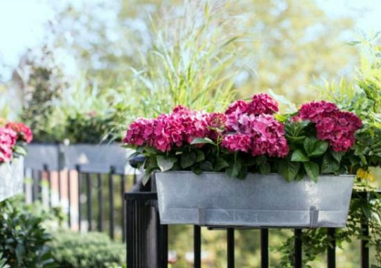Geranien überwintern beliebte Topfpflanzen im Frühjahr herrliche Blütenpracht zeigen