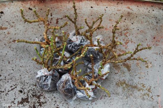 Geranien überwintern beliebte Topfpflanzen jeden Wurzelballen in Plastiktüte umwickeln verschleißen
