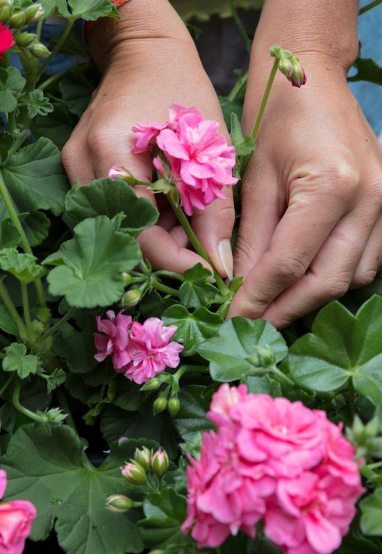 Geranien überwintern beliebte Topfpflanzen lange blühen bis in den Oktober hinein