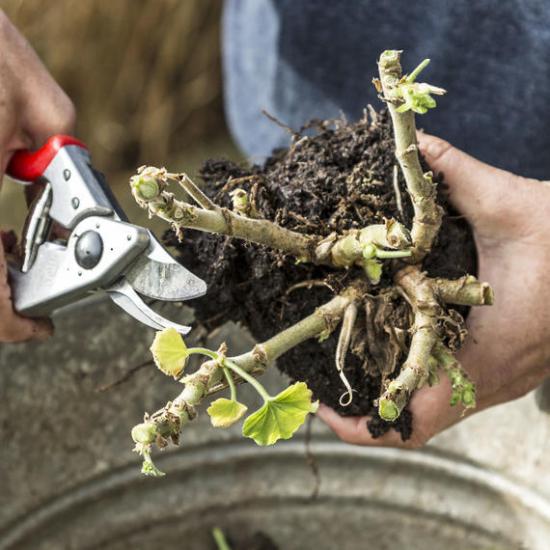 Geranien überwintern beliebte Topfpflanzen mit der Gartenschere die Triebe stark zurückschneiden