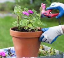 Geranien überwintern – wie bringen Sie die beliebten Blumen erfolgreich über die kalte Jahreszeit?