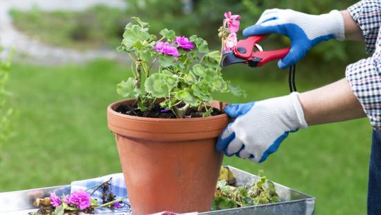 Geranien überwintern beliebte Topfpflanzen pflegeleicht mit der Gartenschere zurückschneiden