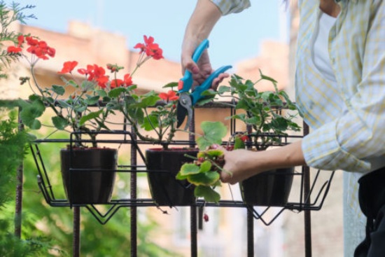 Geranien überwintern beliebte Topfpflanzen vorbereiten und ist Winterquartier bringen