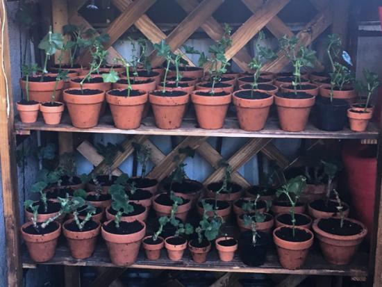 Geranien überwintern beliebte Topfpflanzen zurückschneiden und im Topf überwintern lassen