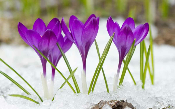 Herbstpflanzen Krokus lila Schnee winterharte Pflanzen