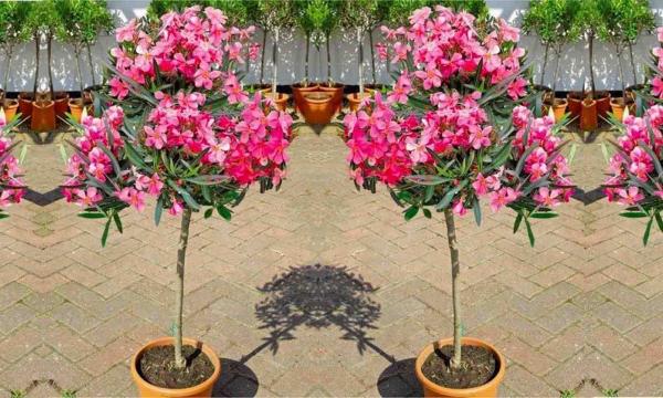 Oleander überwintern Kübelpflanze schöne rosa Blüten kann lange draußen bleiben bis zum ersten Frost