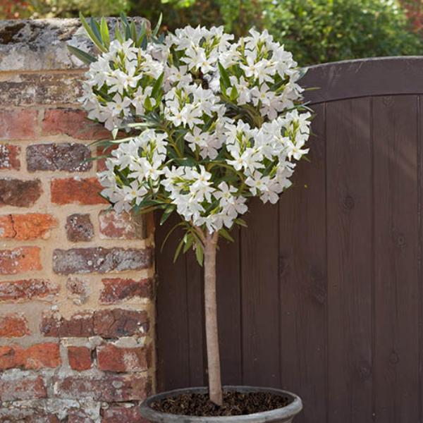 Oleander überwintern Kübelpflanze weiße Blüten vor einem Ziegenzaum platziert