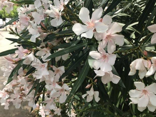 Oleander überwintern immergrüne dünne Blätter cremeweiße Blüten schöner Strauch an einem sonnigen Standort
