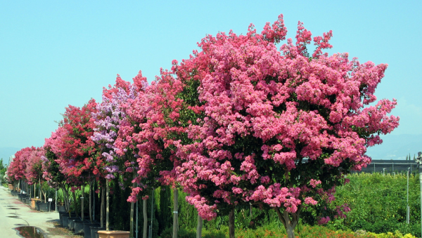 Oleander überwintern in Ländern an der Mittelmeerküste natürlicher Schmuck für Straßen und Gärten bleibt im Freien