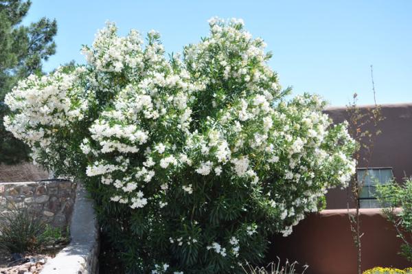 Oleander überwintern in Ländern an der Mittelmeerküste wächst als Strauch oder kleiner Baum
