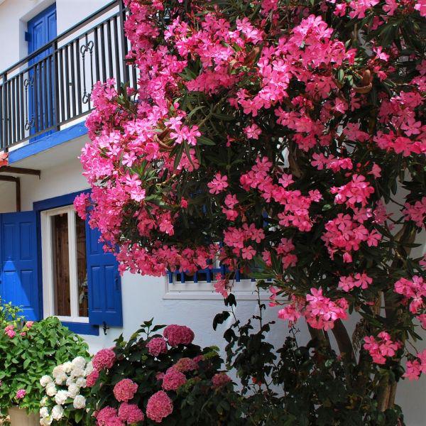 Oleander überwintern mediterrane Blütenpracht in Rosa Strauch im Garten neben rosafarbenen Hortensien schöner Anblick