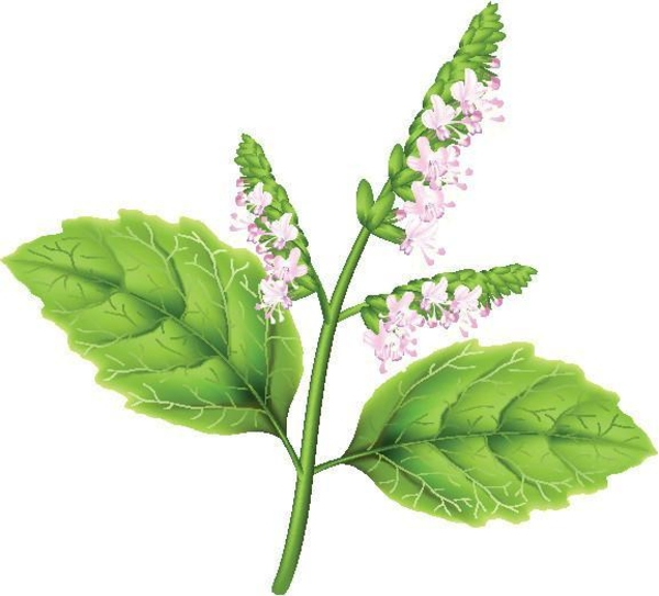 Patchouli Öl Vorteile Blätter