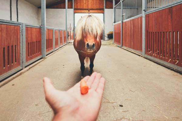 Pferdeleckerlies selber machen Pferdeleckerlis Karotten