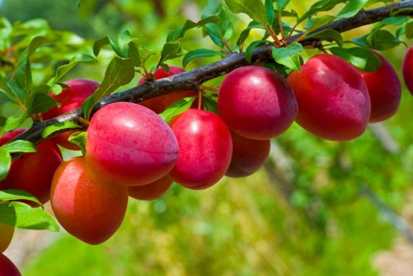 Pflaumenkuchen mit Hefe zubereiten Rezept Pflaumen Zwetschgen Baum Früchte