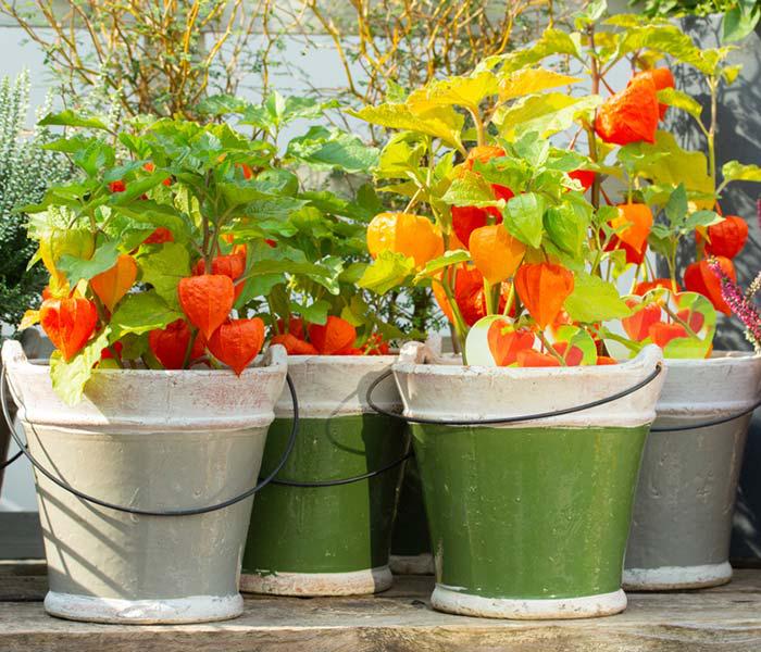 Physalis exotisches Obst in Kübeln exotisches Aussehen richtig pflegen mehrere Jahre züchten