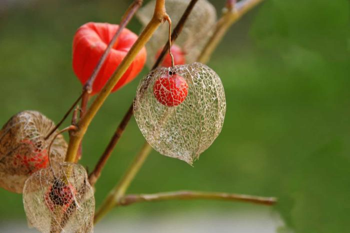 Physalis exotisches Obst kleine orange Frucht in interessant geformter Hülle bis 2 m hoch Rankhilfe benötigt