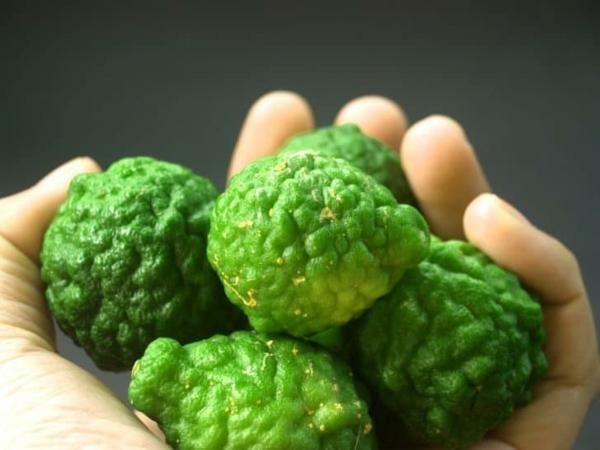 Zitrusfrüchte Bergamotte Öl Pflanze