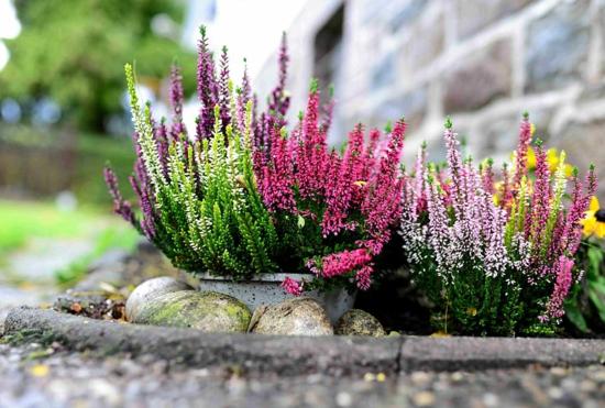 heidekraut besenheide herbstpflanze