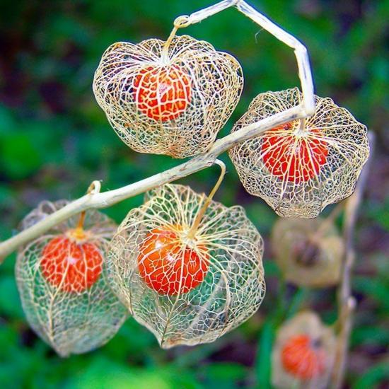 lampionblume physalis pflanze herbst