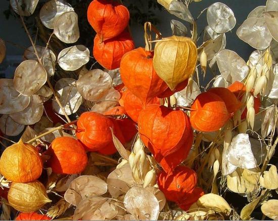 lampionblume physalis und silberblatt herbstdeko