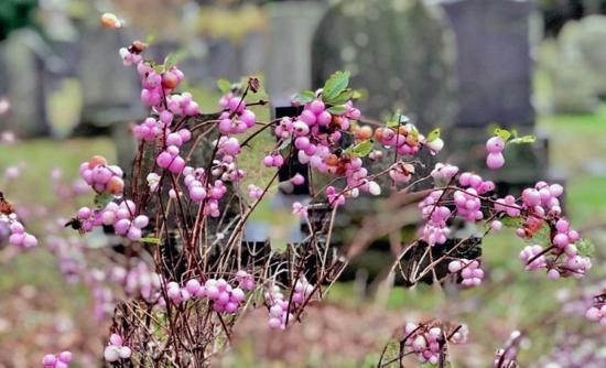 pinke früchte schneebeere giftig