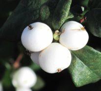 Die Schneebeere – ein beliebter Fruchtschmuck für die kalte Jahreszeit